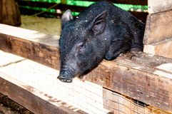 Small, black piglet Stock Photography