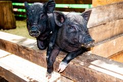 Small, black piglet Stock Images