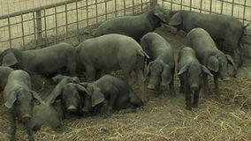 Small black pigs. In the barn stock footage
