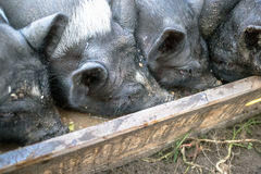 Small black pigs eat from a wooden trough on the farm Royalty Free Stock Photo