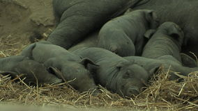 Small black pigs nursing stock video footage