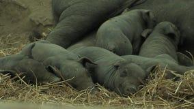 Small black pigs nursing stock video footage