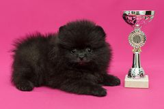 Small, black Pomeranian puppy. And Cup on red background stock photo