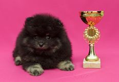 Small, black Pomeranian puppy and Cup. On red background royalty free stock images