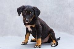 Small Black Puppy Stock Photo