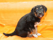 Small black puppy with brown markings sitting Stock Photo