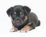 Small black puppy with brown spots looks frightened Royalty Free Stock Images
