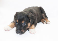 Small black puppy with brown spots looks sad Royalty Free Stock Photography