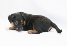 Small black puppy with brown spots looks, turning over her shoul Stock Photography