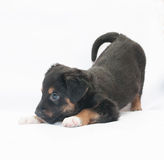 Small black puppy with brown spots plays Royalty Free Stock Images
