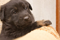 Small black puppy dog Royalty Free Stock Image