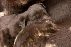 Small black puppy dog Stock Photography