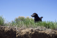 Small Black Puppy in Grassy Meadow with a Moon in the Background Stock Photography