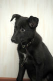 Small black puppy pooch Stock Images
