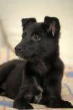 Small black puppy pooch Stock Photos