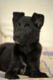 Small black puppy pooch Stock Photo