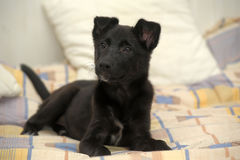 Small black puppy pooch Royalty Free Stock Photos