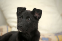 Small black puppy pooch Royalty Free Stock Photo