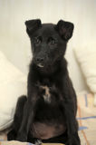 Small black puppy pooch Stock Photography