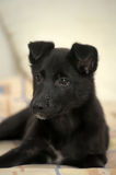 Small black puppy pooch Royalty Free Stock Images