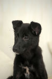Small black puppy pooch Royalty Free Stock Photography