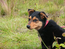 Small black puppy sitting in grass Stock Photos