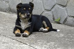 A small black puppy with white breast and brown paws sits on the floor stock photo