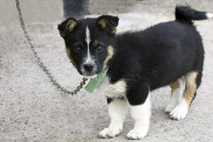 A small black puppy with a white breast stands on the concrete floor royalty free stock photography