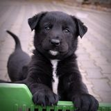 Small black puppy with white emblem on the chest stock photo