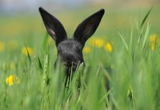 Small Black Rabbit Stock Photo