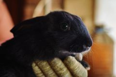 Black rabbit. A small black rabbit sits on a gloved hand Royalty Free Stock Images