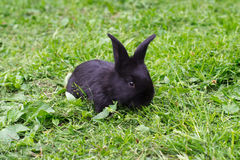 Small black rabbit Stock Image