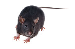Small black rat. Portrait of a small black rat, isolated Royalty Free Stock Photos