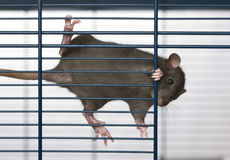 Small black rat. Small curious black rat in a cage Royalty Free Stock Photos