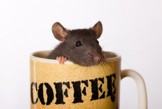 Small black rat. The small black baby rat looks out of a coffee mug Royalty Free Stock Images