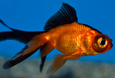 Small black and red Telescope goldfish Stock Image
