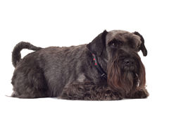Small black schnauzer Stock Photography