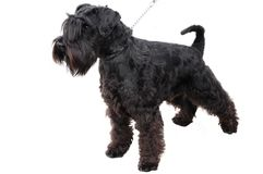 The small black schnauzer Royalty Free Stock Photos