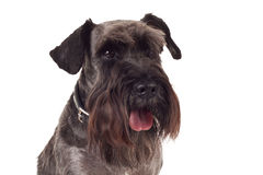 Small black schnauzer face Royalty Free Stock Images