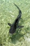 Small black Shark. Shark swimming in shallow sea green water royalty free stock images