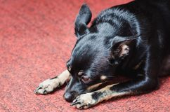 A small black smooth-haired dog lies on a pink carpet stock image