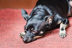 A small black smooth-haired dog rests on a pink carpet with sadness in the eyes royalty free stock images