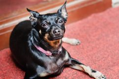 A small black smooth-haired dog rests on a red carpet stock photos