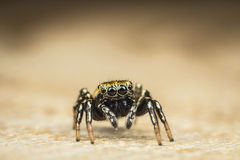 Small black spider that jumps to the victim Royalty Free Stock Photos