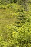Pioneer trees on a bog mat in New Hampshire. Small black spruce and larch trees as pioneers beginning to fill in the floating mat in the Philbrick-Cricenti Bog stock image