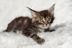 Small black tabby maine coon kitten sitting on white background Stock Photos