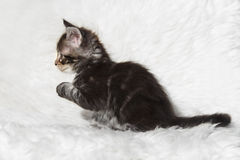 Small black tabby maine coon kitten sitting on white background Royalty Free Stock Images