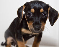 Small black and tan puppy with floppy ears. Half Dachsund, half Chiahuahua, otherwise known as a Chiaweenie, puppy, with its head down low with a sad look on it' royalty free stock images