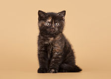 Small black tortoise british kitten Royalty Free Stock Image