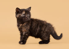 Small black tortoise british kitten Royalty Free Stock Photos